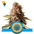 Euphoria CBD - Royal Queen Seeds