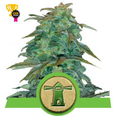 Royal Haze Auto - Royal Queen Seeds