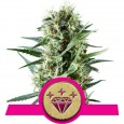 Special Kush 1 - Royal Queen Seeds