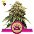Special Queen 1 - Royal Queen Seeds