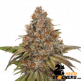 Blackberry Gum Auto - SeedStockers