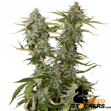 O.G. Candy Dawg Kush - SeedStockers