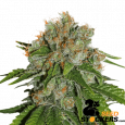 Amnesia - SeedStockers