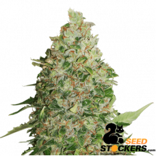 BCN Critical XXL - SeedStockers