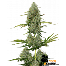 BCN Critical XXL Auto - SeedStockers