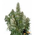 Big Bud Auto - SeedStockers