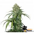CBD 1:1 Silver Lime Haze - SeedStockers