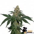 Grandaddy Confidential Kush - SeedStockers