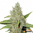 Northern Lights Auto - SeedStockers