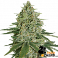 Super Skunk Auto - SeedStockers