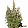 White Widow Auto - SeedStockers