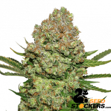 White Widow - SeedStockers